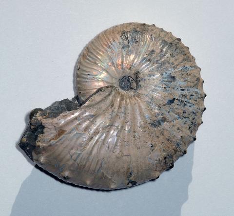 오늘날의 앵무조개와 유사한 암모나이트의 화석. ⓒ Free photo