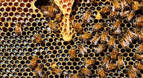 꿀벌들의 개체수가 과거와는 비교할 수 없을 정도로 급감하고 있다 ⓒ ecosystem.org