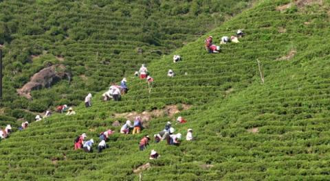 하동의 차 농사가 세계중요농업유산으로 등재됐다 ⓒ 관광공사