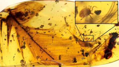 9900만년 전 살았던 진드기가 공룡 깃털과 함께 호박(amber) 속에서 발견됐다. 과학자들은 진드기가 공룡 피를 빨아먹으며 살고 있다고 호박 속에 살아있는 모습 그대로 갇혀버린 것으로 보고 있다.  ⓒNature Communications