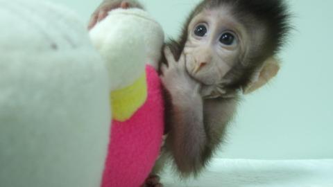 중국의 과학자들이 22년 전 복제양 둘리에게 사용했던 체세포핵치환(SCNT) 기법으로 원숭이를 복제하는데 성공했다. 이전에도 영장류를 복제하려는 시도가 있었지만 완벽한 수준의 유전자 복제가 이루어진 것은 이번이 처음이다.  ⓒChinese Academy of Sciences Institute of Neuroscience