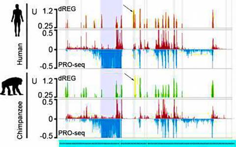 인간과 침팬지 유전체의 일부에서 유전자를 조절하는 DNA 분절에 대한 분석정보 표시. 인간과 침팬지는 놀라울 만큼 유사한 유전제를 가지고 있다. 그림에는 인간과 침팬지에 대한 각각 세 줄의 자료가 표시돼 있다. 맨 윗줄(인간은 빨강, 녹색은 침팬지)은 비활성화된 T세포에서 유전자 증강자의 활동은 인간이나 침팬지가 매우 비슷하다는 결론을 반영하고, 노란색 정점(화살표)은 사람에게서는 활성화돼 있으나 침팬지에서는 비활성화된 유전자 증강자를 표시하고 있다.  CREDIT: Siepel Lab, CSHL