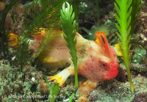 새로 발견된 붉은팔물고기 ⓒ Antonia Cooper