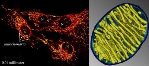왼쪽은 세포핵(N)과 미토콘드리아(노랑-빨강)을 나타내며 오른쪽은 라디에이터 같은 미토콘드리아의 모습이다. ⓒ  Left: Malgorzata Rak; Right: Terrence G. Frey