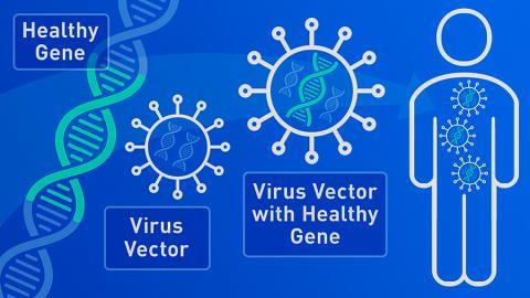 유전자 치료는 몸 안과 밖에서 모두 수행할 수 있다. 몸 안에서의 작동 상황을 나타낸 그림.  Credit: U.S.FDA