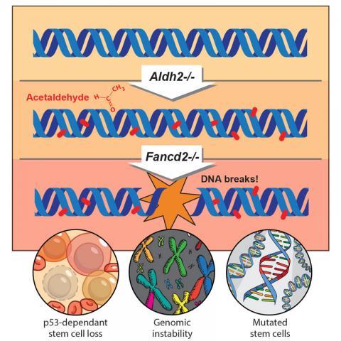 지나친 음주가 암 등 치명적인 질병을 일으키는 메카니즘이 과학자들에 의해 밝혀졌다. 사진은 캠브리지대 분자생물학연구소에서 밝혀낸 아세트알데하이드에 의한 혈액 줄기세포 DNA 파괴 과정.    ⓒmrc-lmb.cam.ac.uk