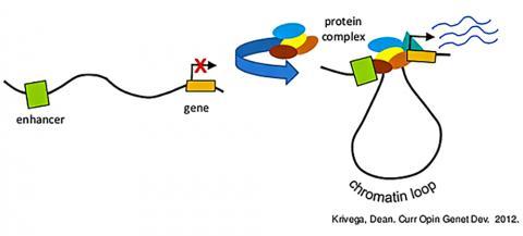 증강자(Enhancers)는 때때로 작용하는 유전자와 거리가 먼 유전자 조절인자다. 그러나 유전체를 포장하는 염색질의 고리 모양 구조 때문에 유전자 표적에 가까이 다가갈 수 있다. CREDIT:  Newsstand / CSHL / Krivega, Dean.Curr Opin Genet Dev. 2012