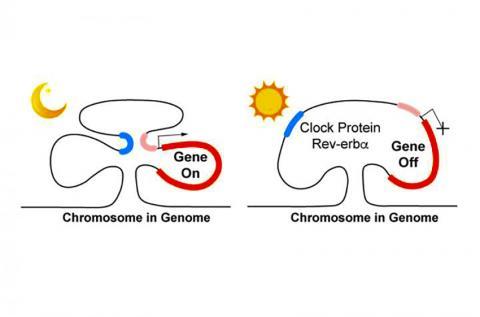 유전자 발현에서 Rev-erb 단백질의 역할을 나타낸 그림. 밤에 Rev-erb 농도가 감소하면 단백질 복합체가 염색체를 휘게 해 먼 지역(파란색과 분홍색) 염색체들이 모아지게 함으로써 유전자가 발현된다(왼쪽). 낮 동안에는 Rev-erb 수준이 상승해 단백질 복합체가 밖으로 내몰려  고리가 느슨해지고 유전자 발현이 중단된다. CREDIT: Yong Kim and Mitch Lazar, Perelman School of Medicine, University of Pennsylvania
