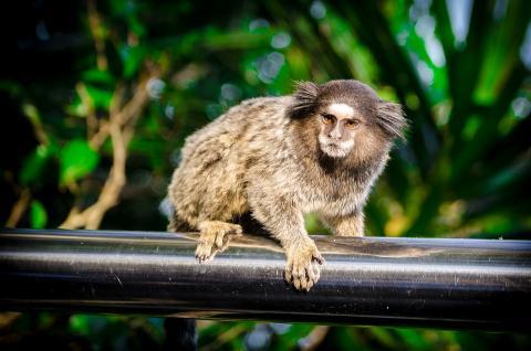 마모셋 원숭이 ⓒ Pixabay