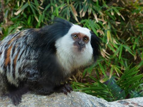 흰머리 마모셋 원숭이 ⓒPixabay