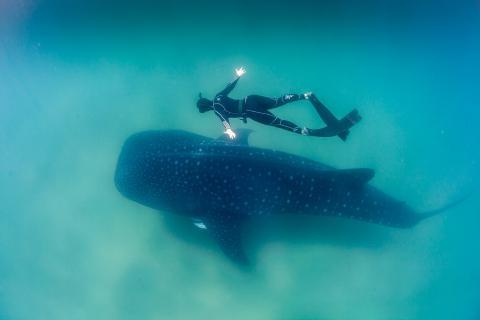 멕시코만, 지중해, 뱅골 만, 산호삼각지대 등에 서식하는 고래, 상어 등 대형 해양생물들이 미세 플라스틱으로 인해 심각한 생존위협에 처했다는 연구 결과가 발표됐다. 사진은 고래상어.  ⓒWikipedia