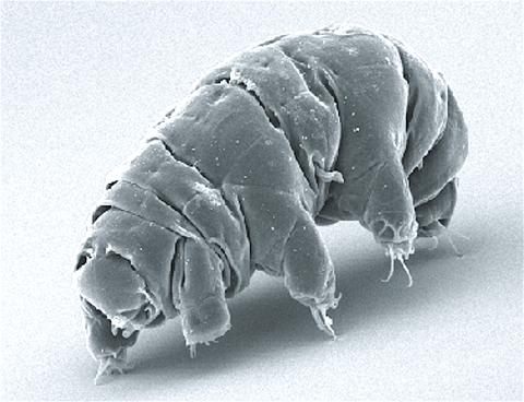 몸 크기가 50㎛ 정도에 불과한 작은 곰벌레는 지구의 환경과는 상관없이 생명력을 유지한다.  ⓒ Wikipedia