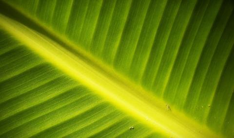 인공광합성 기술 개발이 이어지고 있는 가운데 비가시광선과 식물 광합성 간의 어떤 영향을 주고받는지 그 비밀을 밝혀내려는 연구가 진행되고 있다.   ⓒMichigan State University