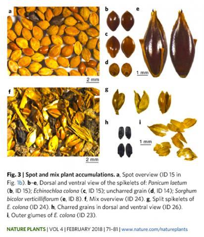 유적지에서 발견된 볏과와 수수과 등의 혼합 곡물 모습('네이처 플랜츠' 논문 캡처) CREDIT: Nature Plants