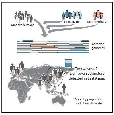 지금까지 현생인류가 아닌 고인류 가운데 게놈이 해독된 건 네안데르탈인과 데니소바인 둘뿐이다. 네안데르탈인은 아시아와 유럽인, 데니소바인은 아시아인에 흔적을 남겼다. 최근 연구결과 아시아에는 두 그룹의 데니소바인이 살았는데 남아시아인과 뉴기니인은 그 가운데 한 그룹(짙은 파란색)의 영향만을 받은 반면 동아시아인의 게놈에는 두 그룹의 흔적이 남아있는 것으로 밝혀졌다. ⓒ 셀