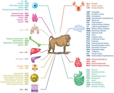 이번 연구는 개코원숭이의 13개 장기의 64개 조직에서 시료를 얻어 모든 유전자의 전사량을 분석했다. 특히 뇌의 경우 채취한 조직이 22가지나 된다. ⓒ ScienceTimes
