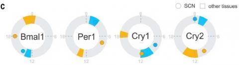 야행성인 생쥐(노란색)와 주행성인 개코원숭이(파란색)의 유전자 전사 패턴을 비교해보면 12시간 차이가 나는 경우가 많다. 특히 생체시계 조절 유전자들이 그랬는데 예외적으로 시교차상핵(SCN)에서는 그렇지 않았다. 그림을 보면 Bmal1의 경우 네 시간 차이가 나고(작은 동그라미 두 개) Per1은 5시간, Cry2는 10시간 정도 차이가 난다. 한편 Cry1은 다른 조직에서도 7시간 정도 차이가 난다.  ⓒ ScienceTimes