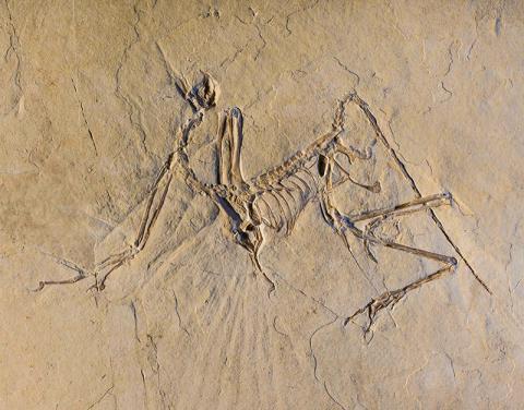 과도기 조류인 시조새의 뮌헨 표본. 부분적인 두개골(왼쪽 위)과 어깨 견갑대와 양쪽 날개가 약간 위로 올라온 모습(왼쪽 끝에서 왼쪽 중앙), 흉곽(가운데), 골반대와 양 다리가 '자전거 타기' 자세 (오른쪽)를 하고 있다. 이 모두가 척추에 의해 목(왼쪽 상단, 두개골 아래)에서 꼬리 끝(가장 오른쪽)까지 연결된다.  Credits: ESRF/Pascal Goetgheluck