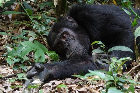 유인원과에 속하는 동물 중 침팬지는 인간의 지능과 매우 흡사한 고등동물에 속한다. ⓒ PIXabay.com/