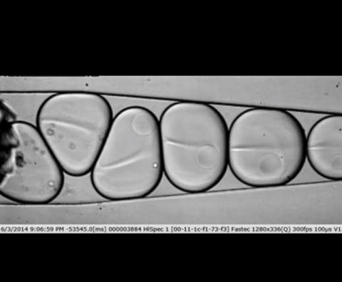 새로운 기술을 통해 한 번에 세포 하나씩 수천 개 세포에서의 유전자 발현을 연구할 수 있다. 동영상 https://hms.harvard.edu/news/one-many   CREDIT: Allon Klein/Harvard Medical School