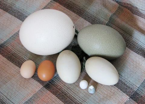 그동안 신비에 싸여 있던 달걀껍데기의 구조가 최근 과학자들의 연구로 밝혀지고 있다. 맥길대 연구팀이 달걀껍데기를 구성하고 있는 나조 차원의 구조를 밝혀냈다.  ⓒWikipedia
