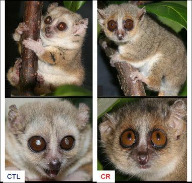 정상먹이로 자란 여우원숭이(왼쪽)과 칼로리를 줄여 키운 여우원숭이(오른쪽). 털이 더 많이 세고, 백내장이 생겼다. ⓒ CNRS/MNHN