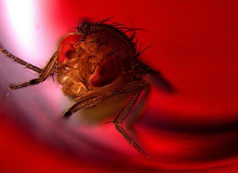 광유전학 기술로 붉은빛을 비추면 사정을 하게 만든 수컷 초파리는 붉은 조명이 있는 공간을 선호하는 것으로 나타났다. ⓒ Avi Jacob, 바르일란대