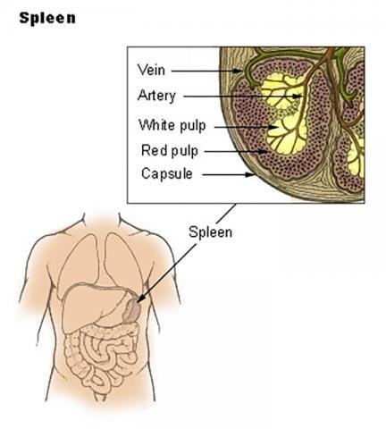 비장(지라)는 인체에서 가장 중요한 림프기관으로서 감염이나 염증에 반응해 크기가 커질 수 있다.  Credit: Wikimedia Commons