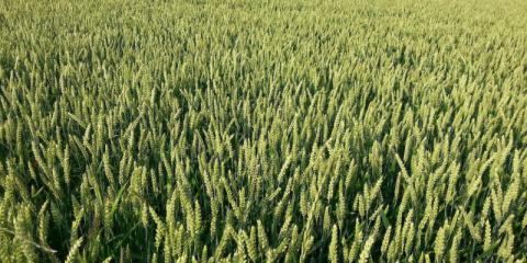 세계 최대 농산물 생산국가인 미국 정부가 유전자편집(gnen-editing) 농작물 규제롤 해제하면서 새로운 작물 개발이 잇따르고 있다. 1세대가 지나기 전에 우리 식탁이 맛과 향으로 가득한 곡물, 채소, 과일 등으로 채워질 전망이다.   ⓒfcrn.org.uk