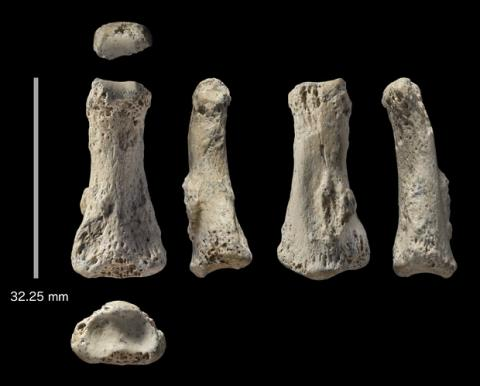 아라비아 사막에서 발견한 현생인류의 손가락 뼈 화석. 8만5000년 전의 것임이 밝혀지면서 아프리카에 거주하던 현생인류가 아라비아 사막을 거쳐 다른 유라시아 지역으로 퍼져나간 경로가 밝혀지고 있다.  ⓒIan Cartwright
