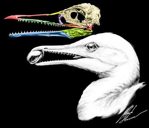 공룡에서 현대 조류로 진화하는 과정에서 나타난 어조(魚鳥)인 익티오르니스 디스파의 화석을 재건한 모습.  CREDIT: Michael Hanson/Yale University