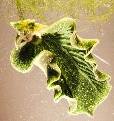 이 바다 민달팽이는 해조류에서 작은 태양전지판 같은 수백만 개의 색소체를 빨아들여 활용한다.  CREDIT : Karen N. Pelletreau/University of Maine