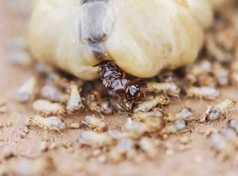 여왕개미의 모습. 흰개미종(Macrotermes bellicosus)의 이 여왕개미는 하루에 2만개의 알을 낳지만 20년까지 살 수 있다. 그에 비해 일개미들은 수명이 몇 달밖에 안된다.  Photo: Judith Korb