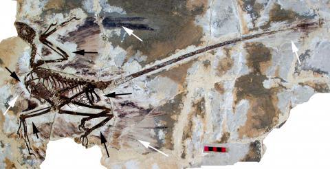 중국 박물관에 있는 미크로랍토르 화석. 흰 화살표에 깃털이 남아있다. ⓒ Wikimedia