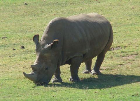 지난 3월 북부흰코뿔소의 마지막 수컷이 사망하면서 이 종을 되살리기 위한 프로젝트에 관심이 집중되고 있다. 미국 샌디애고 동물원 보존연구에서 세포 염기서열을 마쳤으며 현재 대리모 선정을 협의 중인 것으로 알려졌다.  ⓒWikipedia