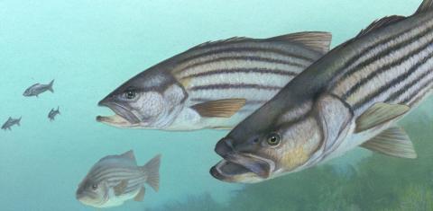태어난지 오래된 대형 암컷 물고기일 수록 건강한 알을 다수 산란하고 있다는 새로운 연구 결과가 발표돼 바다 생태계 보존은 물론 수산정책 전반에 재검토가 요망되고 있다. 사진은 태평양 볼락. ⓒjrava.org