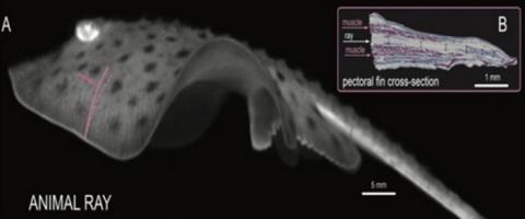 인공 근육 시스템을 도입한 가오리 형태의 바이오로봇 ⓒ 서강대