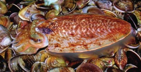 참갑오징어의 뼈는 갈아서 지혈제로 사용했다 ⓒ 국립생물자원관