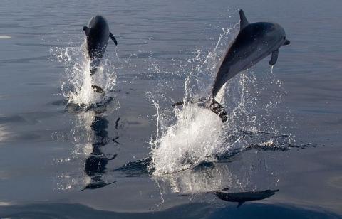 과학자들이 뇌 분석을 통해 돌고래가 강한 슬픔을 느낄 수 있는지 밝혀내고 있다. 사진은 바다 위로 비상하는 줄무늬돌고래.  ⓒWikipedia
