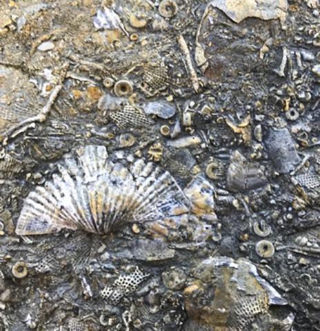 버지니아 석회암에 화석으로 남아있는 3억2000만년 전 완족동물류와 바다나리, 태형동물들.  Courtesy of Ben Gill/Virginia Tech /Syracuse Univ. News