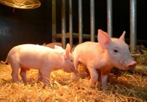 그동안 불치병이었던 PRRS에 완전 면역인 가능한 돼지가가 유전자편집 기술에 의해 개발돼 세계적인 주목을 받고 있다. 향후 축산업 전반에 큰 영향을 미칠 전망이다.   ⓒ Norrie Russell, The Roslin Institute, University of Edinburgh