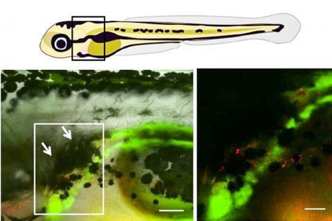 제브라피쉬 유생의 신장(사진 위 왼쪽의 검은 박스)에서 색소 세포로 만들어진 검은 우산(사진 아래 왼쪽 흰 화살표가 가리키는 곳)은 자외선 손상에 취약한 조혈 줄기세포를 보호한다. 오른쪽 그림은 왼쪽 사진의 박스를 확대한 것으로, 왼쪽 사진의 단위척도는 100미크론, 오른쪽은 50미크론이다.  CREDIT: F. Kapp et al./Nature 2018