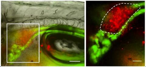 색소세포 우산으로부터 보호받지 못하는 제브라피쉬 유생의 신장에 있는 줄기세포(빨간색)가 자외선에 노출돼 있다. 오른쪽 사진은 왼쪽 사진 안에 있는 박스를 확대한 사진. 단위척도는 왼쪽사진 100미크론, 오른쪽은 50미크론. CREDIT: F. Kapp et al./Nature 2018