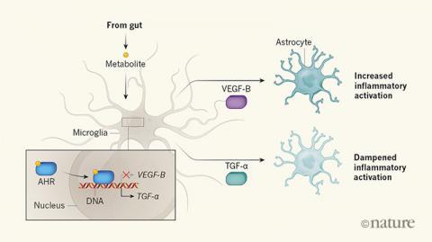장내미생물이 내놓는 대사산물(metabolite)인 I3S가 미세아교세포(microglia)에 작용해 뇌의 염증반응을 억제한다는 사실이 최근 밝혀졌다. I3S는 전사인자 ARH를 활성화해 별아교세포(astrocyte)의 염증반응을 촉진하는 VEGF-B(위)의 유전자 발현을 억제하고 염증반응을 억제하는 TGF-α(아래) 유전자 발현을 촉진한다. ⓒ 네이처