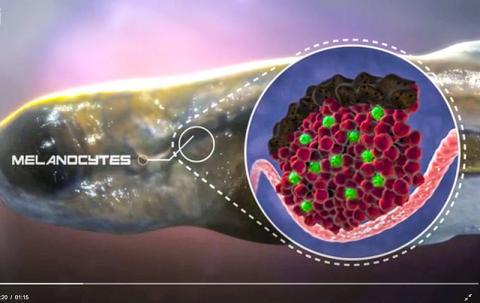 제브라피쉬 유생의 신장에 있는 조혈 줄기세포. 동영상 캡처. CREDIT: ZON LAB/HHMI/BOSTON CHILDREN'S HOSPITAL/HARVARD