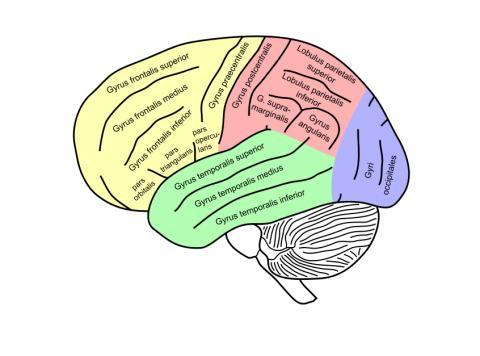 뇌과학자들이 영적인 경험을 통해 발생하고 있는 뇌 기능 변화를 추적하면서 최근 두정엽(사진 붉은색 부분)과 관련된 새로운 사실이 밝혀지고 있다.  ⓒWikipedia