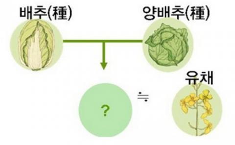 배추와 양배추는 배추속에 속하는 채소로서 이를 교잡하면 전혀 다른 종을 만들 수 있다 ⓒ SERICEO