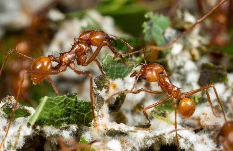 나뭇잎을 이용하여 곰팡이를 키우는 가위개미 ⓒ hhmi.org