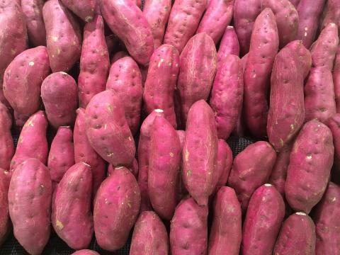 고구마가 단위 면적 당 최고의 탄수화물을 생산해 식량안보에 기여할 수 있으며 척박한 토양에도 재배가 용이해 인류를 구원할 식량으로 부각되고 있다. ⓒ ScienceTimes