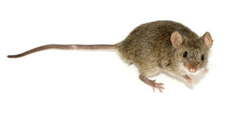 유전자가위 기술을 활용해 농작물에 해를 끼치지않는 쥐를 개발하고 있다. 새로운 종이 들판에 유포될 경우 생태계가 훼손될 수 있다는 우려가 강하게 제기되고 있다.  ⓒWikipedia